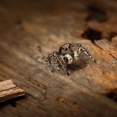 harlekin spider